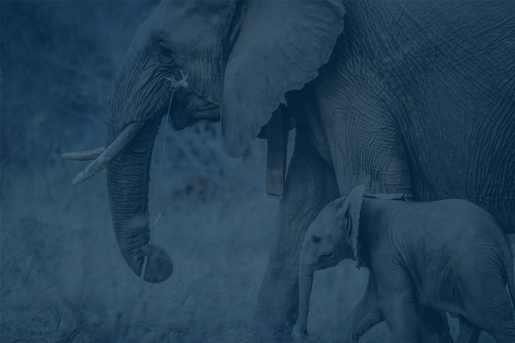 Miles Geldard, Cerno Capital Investment Advisory Committee Member, Appointed as Chairman of the Elephant Protection Initiative Foundation